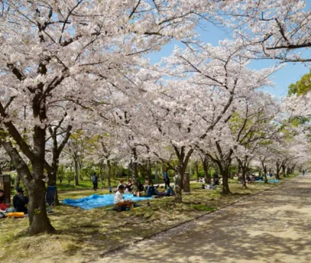 The Japanese Cherry Blossom Tradition You Should Know About Conde Nast Traveler
