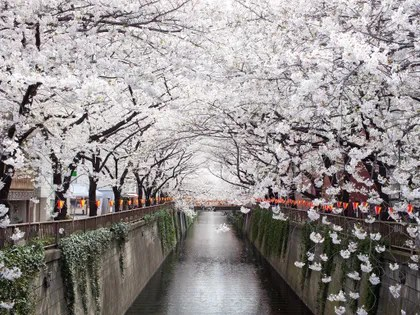 Image may contain: Plant, Flower, Blossom, Cherry Blossom, Building, and Bridge