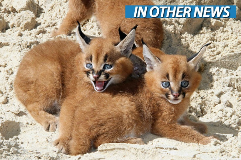 Caracal Kittehs