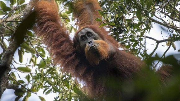 Orangután de Tapanuli. Foto tomada de La Vanguardia.