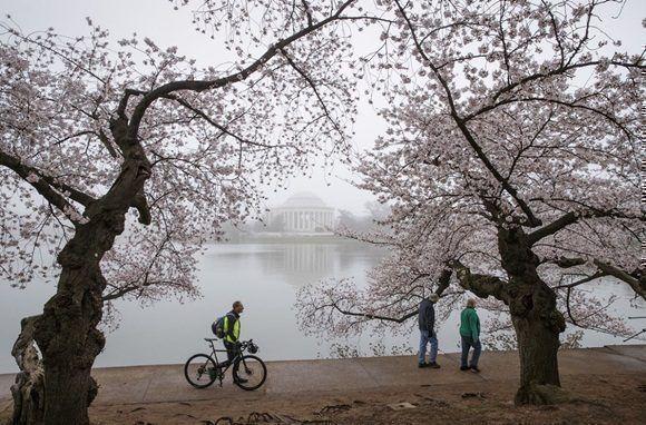 Los cerezos de Washington florecen a pesar de la ola de frío. Foto: AP.