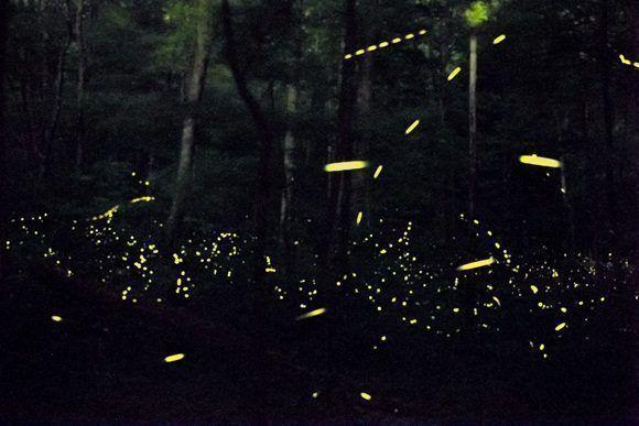 Apareamientos de luciérnagas en Tennessee.
