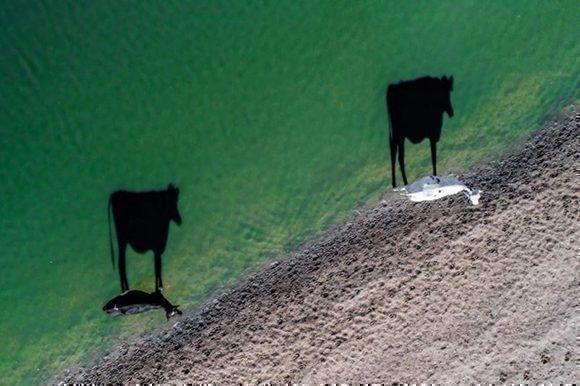"""La sombra de dos vacas sobre un lago cerca de Ciudad del Cabo, Suráfrica ha sido la ganadora de esta nueva sección creada por méritos propios: """"Creatividad"""". """"Dos muus"""" de LukeMaximoBell."""