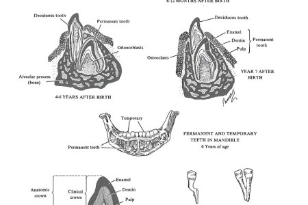 Images of permanent teeth full hd maps locations another world of permanent teeth description and illustration reveals the eruption of permanent teeth by download scientific diagram tooth illustration pictures getty ccuart Image collections