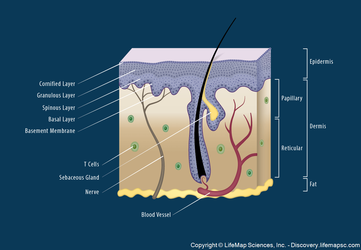Skin Structure Infographic