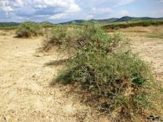 Plante care cresc în mediul sărărat