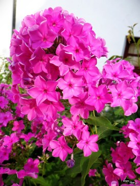 Flori la Cozia
