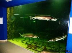 Pești migratori valoroși