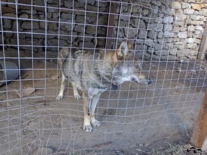 Lupul captiv la fosta casă a lui Brâncoveanu