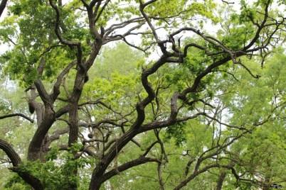 Crengile încârligate ale stejarilor