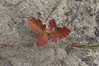 Viitor stejar, dacă nu îl mănâncă cineva