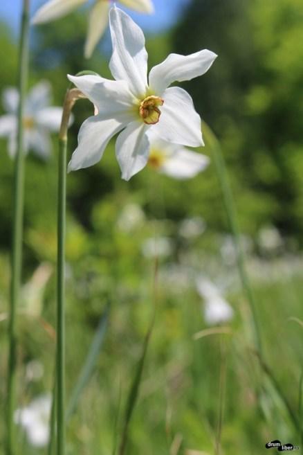 Narcissus Stelaris