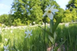 Dragoste egoistă cu floarea lui Narcis