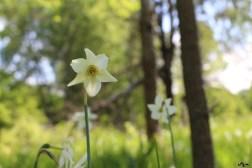 Floarea lui Narcis
