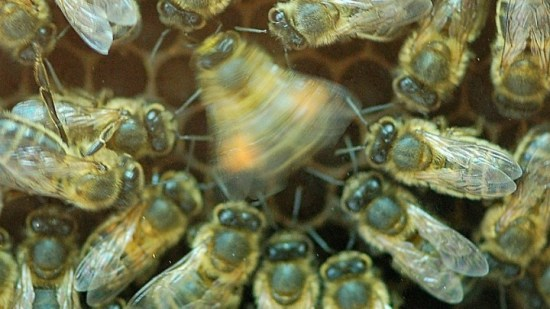 Honeybees' waggle dance no longer useful in some cultivated landscapes