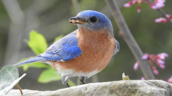 Feeding bluebirds helps fend off parasites