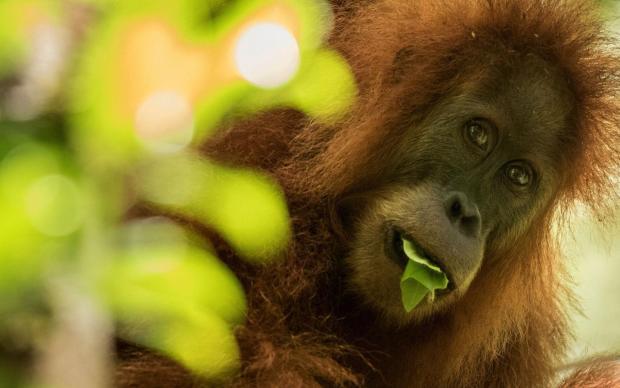 A Tapanuli orangutan (Pongo tapanuliensis) in northern Sumatra, Indonesia. Credit: Maxime Aliaga