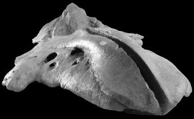 Fossil skull of a Bohaskaia monodontoides, photo credit: Jorge Velez-Juarbe