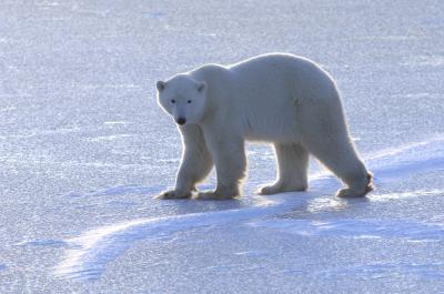 Young polar bear challenged by lack of sea ice, Andrew Derocher photo