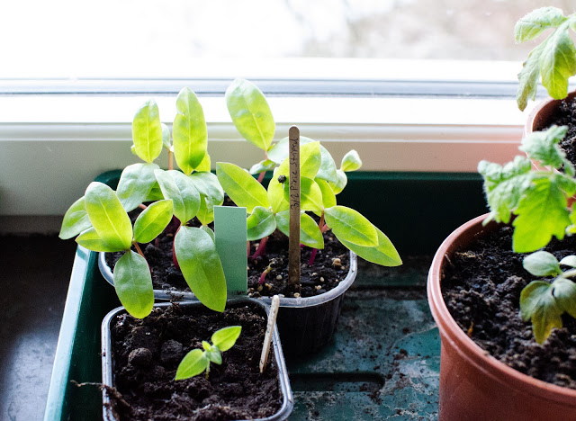 Plantor Malabarspenat