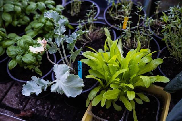 Sommarsådda små plantor till serieodlingen Farbror Grön