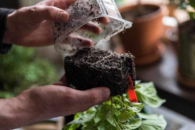 Omplantering av chili Farbror Grön