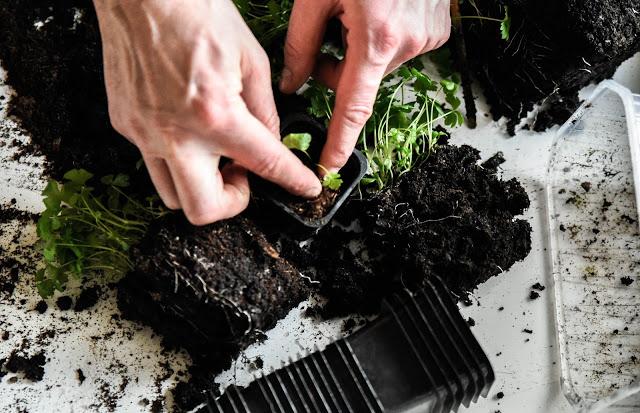 plantera om rotselleri