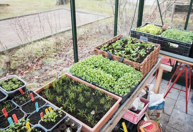vintersådder i växthus hos Farbror Grön