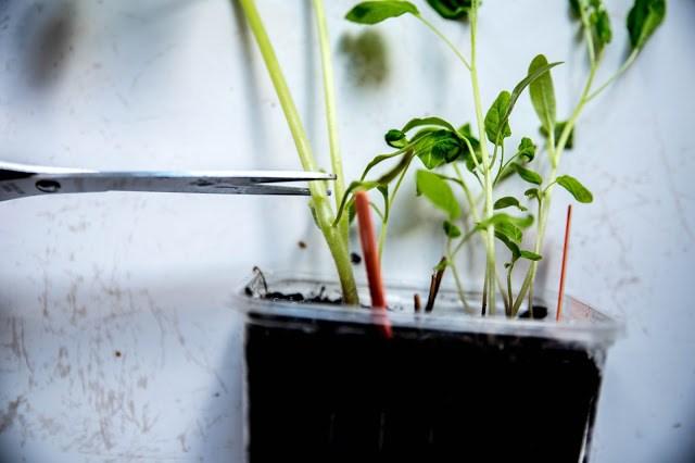 Klippa av tomatplanta Farbror Grön