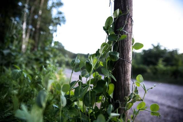 Sockerärt i skogsträdgården Farbror Grön