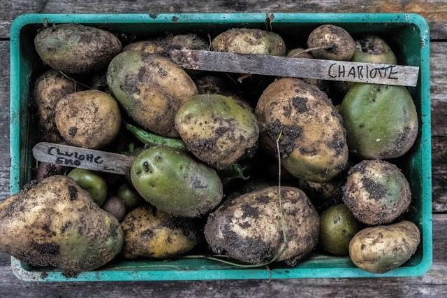 Grön potatis till utsäde Farbror Grön
