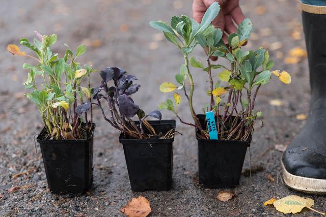 Små kålplantor