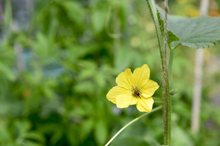 Gurkor pollineras