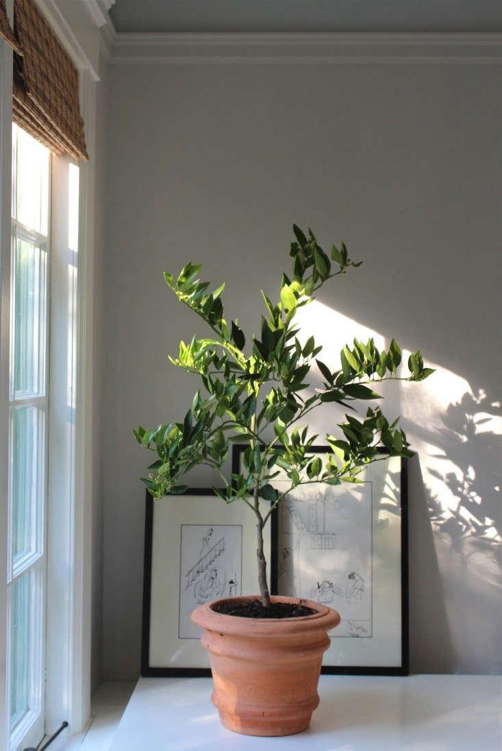 indoor citrus tree happy