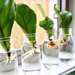 10 Things Nobody Tells You About Fiddle Leaf Fig Trees Gardenista