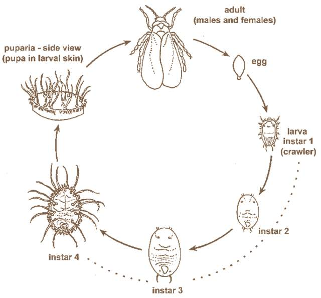 White fly lifecycle and how to control whiteflies in your garden