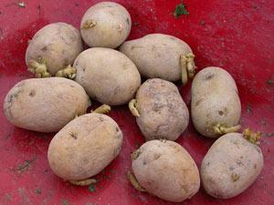 pomme de terre - semences