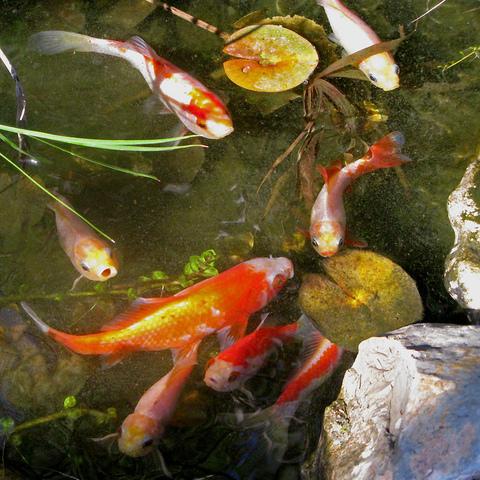 choisir des poissons pour le bassin