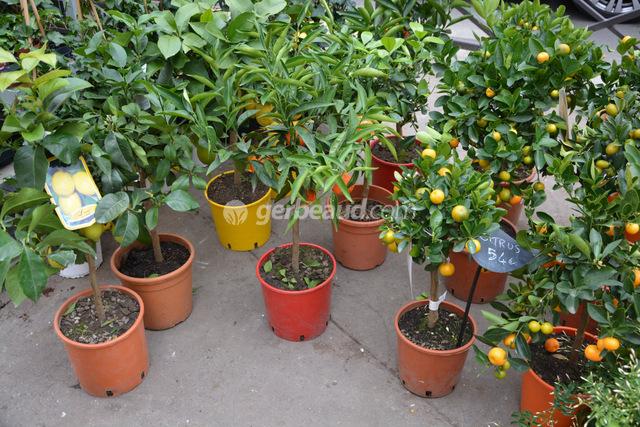 Clementinier Et Mandarinier Varietes Et Conseils De Culture