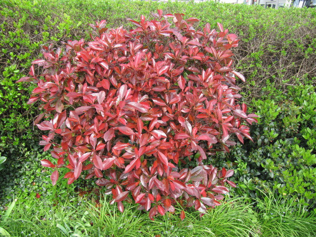 arbuste persistant au feuillage rouge
