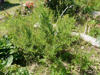 Estragon, Artemisia dracunculus