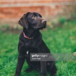 Chocolate Labrador Puppy High Res Stock Photo Getty Images