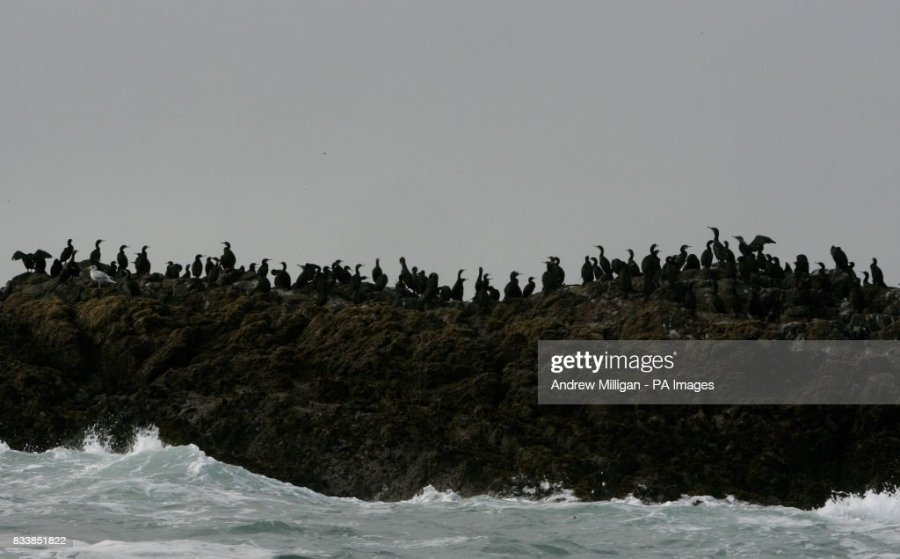 Isle Of Tiree Stock Photos and Pictures   Getty Images Commorant birds on the coast off the Isle of Tiree
