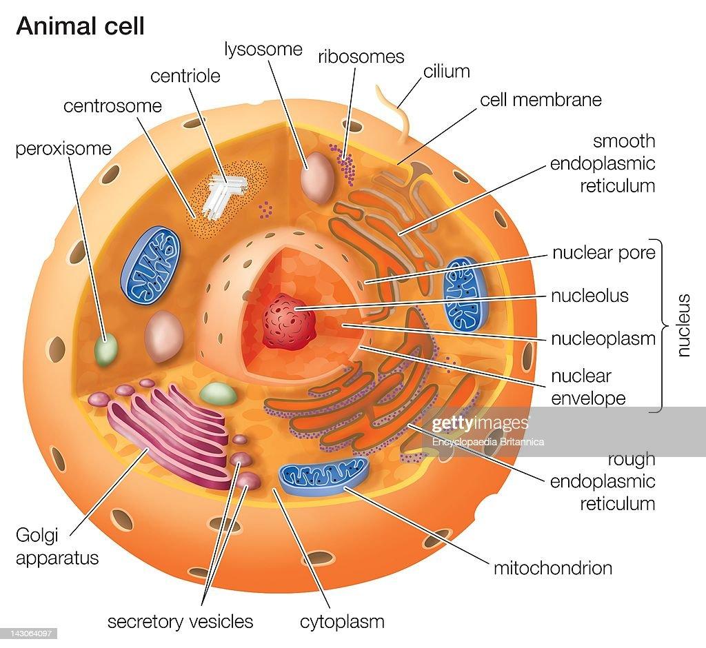 Cutaway Drawing Of A Eukaryotic Animal Cell News Photo