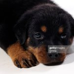 Cute Rottweiler Puppy High Res Stock Photo Getty Images