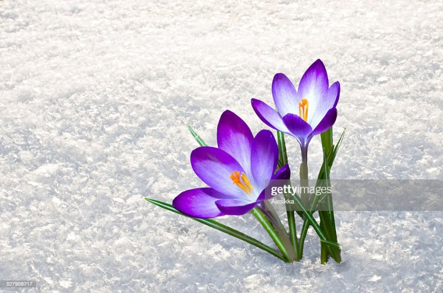 Free spring flower snow Images  Pictures  and Royalty Free Stock         first crocus flowers