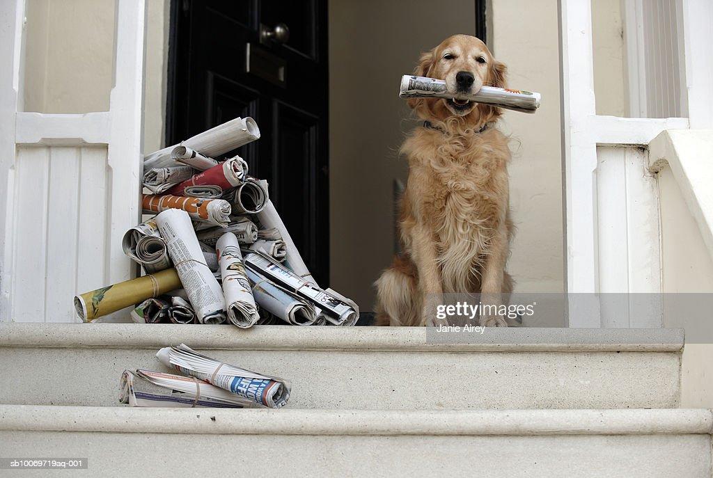 Golden Retriever Dog Sitting At Front Door Holding