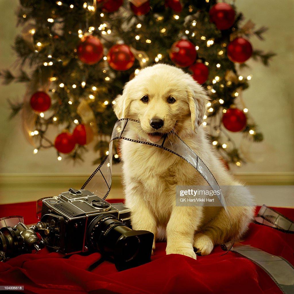 Golden Retriever Puppy Christmas Portrait Stock Photo
