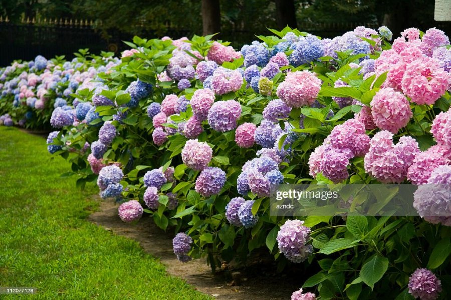 Hydrangea Stock Photos and Pictures   Getty Images Hydrangea
