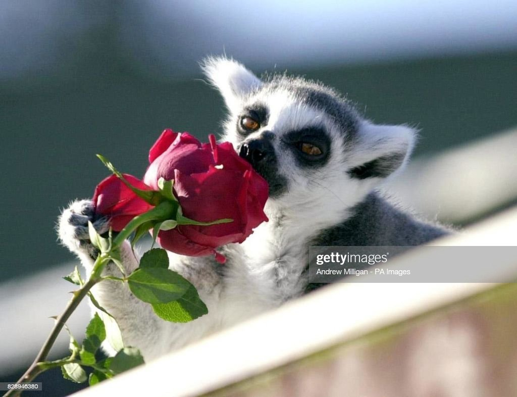 Lucy The Ring Tailed Lemur Receives A Rose For Valentines Day From Nachrichtenfoto Getty Images